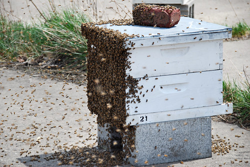 Not sure what was going on here but at the end of the day the bees calmed down and went back in their hive.
