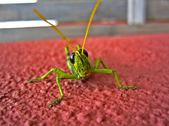 grasshopper (Court Duncan Photography) Tags: