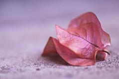 Glory Lies... (michaeljosh) Tags: pink flower concrete bougainvillea missuniverse tamron90mmf28 project365 miriamquiambao nikond90 michaeljosh glorylies