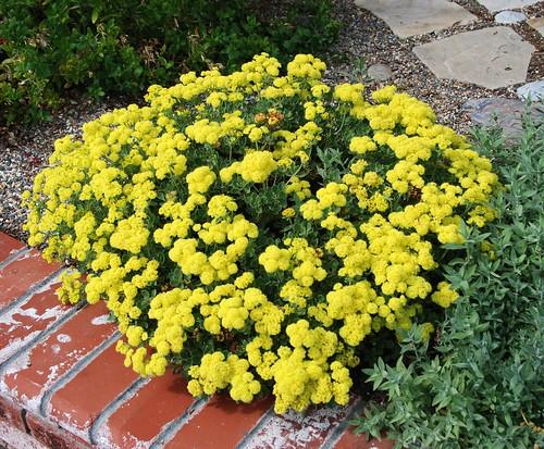 сажать многолетние цветы семенами