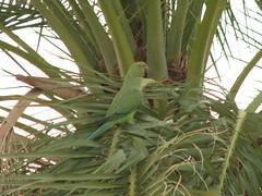 City parrot form QATAR (QtrTrd) Tags: morning sky cloud sun moon tree bird night bug lemon pigeon dove pomegranate parrot shy full date                    buteerfly     mothernaturesgreenearth