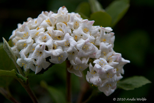 First light - Viburnum 2