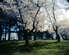 .. (Js) Tags: park people sunlight white toronto green grass silhouette backlight cherry spring highpark fuji shadows blossoms stranger velvia handheld 4x5 cherryblossoms meditation expired largeformat tiltshift rvp50 epsonv700 graflexcrowngraphic