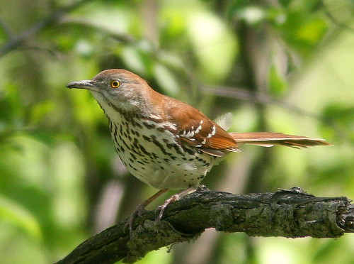 Brown Thrasher 20100428