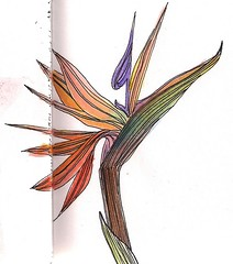 The Bird of Paradise in watercolor (Marisol Covelo) Tags: flowers urban flower color art nature pencils painting nikon europe sketching pastels colored draw watercolors supplies coloredpencils sketches dibujo artsupplies lamy oleo lpiz