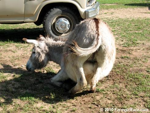 Donkey Rolls 2