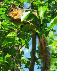 Dinner Time (Care_SMC) Tags: tree leaves squirrel okc lakehefner canonsx20is