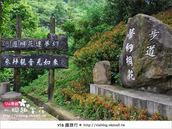【苗栗油桐花季】苗栗頭屋~夢幻桐花步道2
