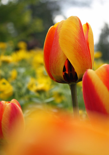 Red and yellow tulips - depth