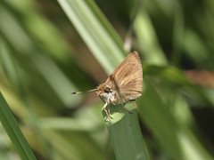 Broad-winged Skipper, Poanes v. viator (Bill Bouton) Tags: butterfly insect skipper lepidoptera arthropoda hesperiinae insecta hesperiidae hesperioidea broadwingedskipper poanesviator hesperini