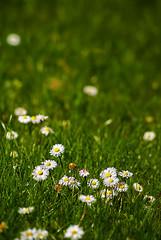flower power (Mathieu Muller) Tags: flowers fleurs soleil lumire rayon flou herbe pr paquerettes mathieumuller