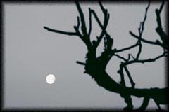 The Moon (Pachibro Portfolio) Tags: moon tree sunrise canon eos alba branches luna albero rami 400d canoneos400d scattifotografici pasqualinobrodella pachibroportfolio pachibro