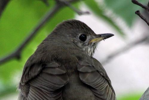 Gray-Cheeked Thrush