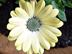 Yellow African Daisy (sunshinegurl2) Tags: flower yellow daisy africandaisy