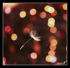 Flying without wings... (achew *Bokehmon*) Tags: light macro out square idea flying wings bokeh sony outoffocus dandelion alpha without ran seriously a850 cropim