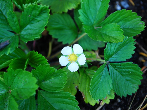 wild strawberry bloom