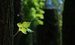 Last Spring Leaf (Ganymede: Photography) Tags: detail macro tree green up gardens closeup last forest leaf spring woods nikon close small deep palace tiny jardines picnik sabatini palacio d60 sabatinigardens nikond60 jardinessabatini