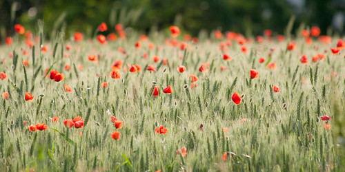 フリー写真素材, 花・植物, ケシ科, 花畑, ヒナゲシ,
