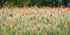 [フリー画像] 花・植物, ケシ科, 花畑, ヒナゲシ, 201005240100