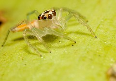 Jumper (-Azri) Tags: macro insect makro outing binatang lakegarden serangga tamantasikperdana klnatureouters