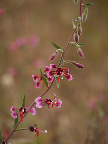 elegant clarkia - clarkia unguiculata