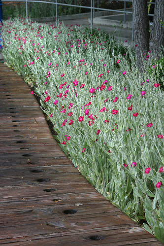 lychnis sweep