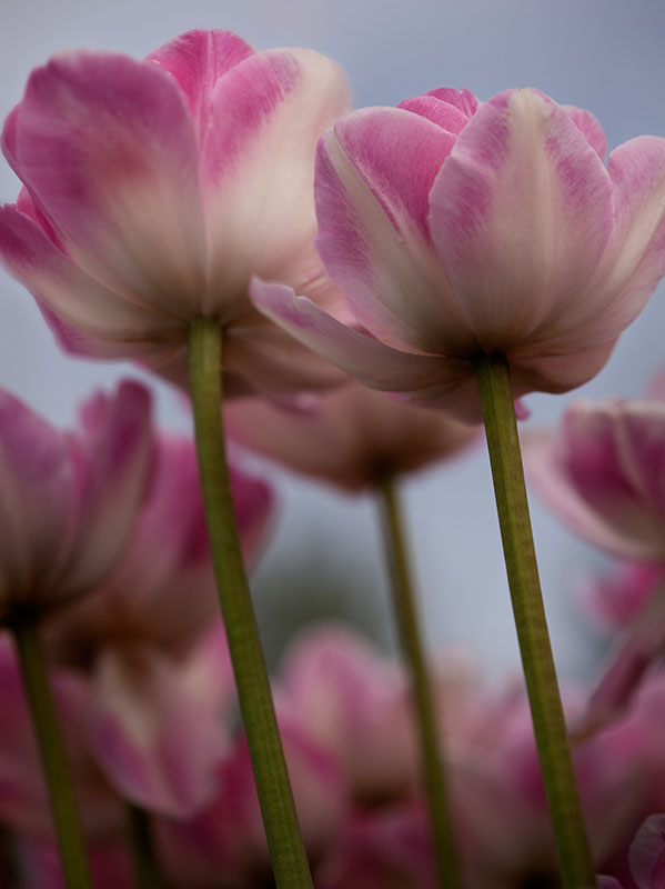 Soft Pink Tulip #2