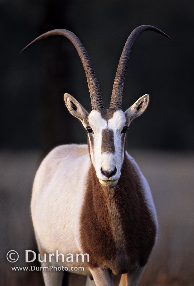 scimitar-horned oryx (Oryx dammah
