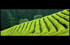 (nivandri) Tags: zeiss tea korea cz teaplantation carlzeiss boseong zf2 cz352zf2