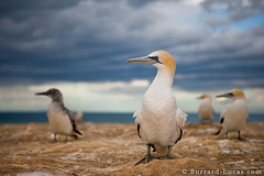 Australasian Gannets (Burrard-Lucas Wildlife Photography) Tags: new zealand australasian gannets