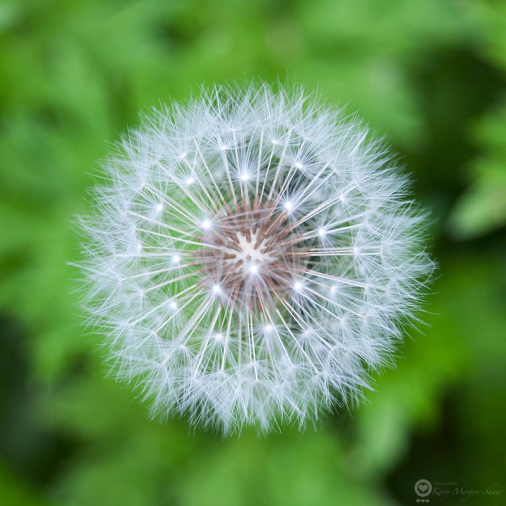 Dandelion clock: 151/365