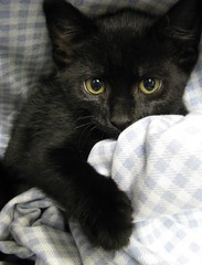 Little Black Kitten named Minuet, I Think ~ Felony Cute! (Pixel Packing Mama) Tags: bcb heartlandhumanesociety catpix pixelpackingmama dorothydelinaporter montanathecat~fanclub montanathecat~fanclubpool ceruleanthecat~fanclub ceruleanthecat~fanclubpool justmoggiespool worldsfavoritepool 50plusphotographersaged50andbetterpool favoritedpixfirsthalfof2010set pixuploadedfirsthalfof2010set pixtakeninfirsthalfof2010set picturestakenwithcanonpowershota2000isin2010set catskittensstartingjanuary12010set favup060510 pixelpackingmama~prayforkyronhorman oversixmillionaggregateviews over430000photostreamviews