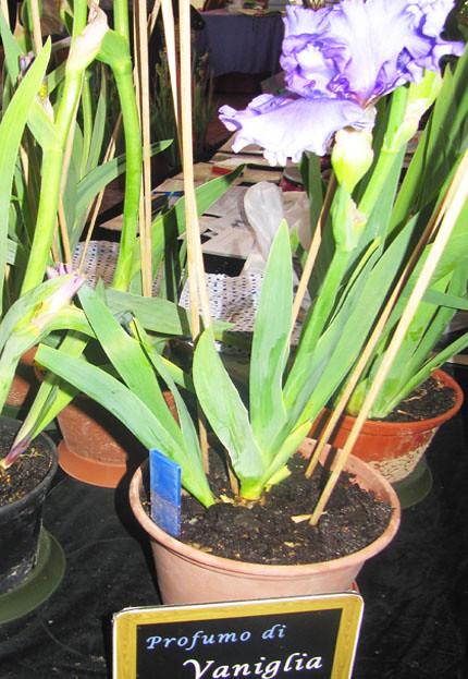Iris profumati
