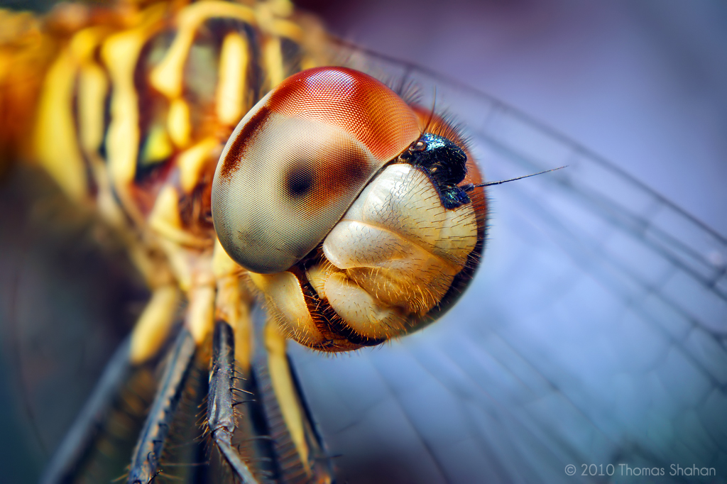 Bug close-up: Female Blue Dasher Dragonfly