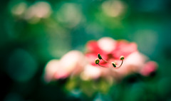(soul.glo) Tags: red blur flower color macro green yellow canon focus dof bokeh 28mm saturday sigma stamen shallow 18 simple