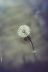 Dandelion - morning (Mukhina Ekaterina) Tags: reflection water dandelion taraxacum blowball lensbaby3g