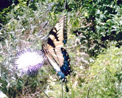 tiger swallowtail on a Texas thistle