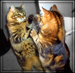 Silly Monster .... (FurBabyLuv *Finally back Online) Tags: bw silly reflection monster cat mix kitten funny tabby mainecoon edit miror selectivecolor