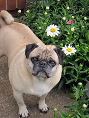 pugdog millionaire with daisies
