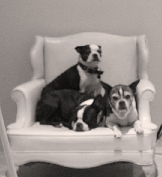 a past life - 3 boston terriers on a chair