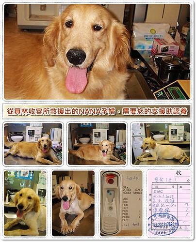 「需要支援助認養」台中從員林收容所救援出的黃金獵犬NANA孕婦,需要您的醫療支援助認養,20100613