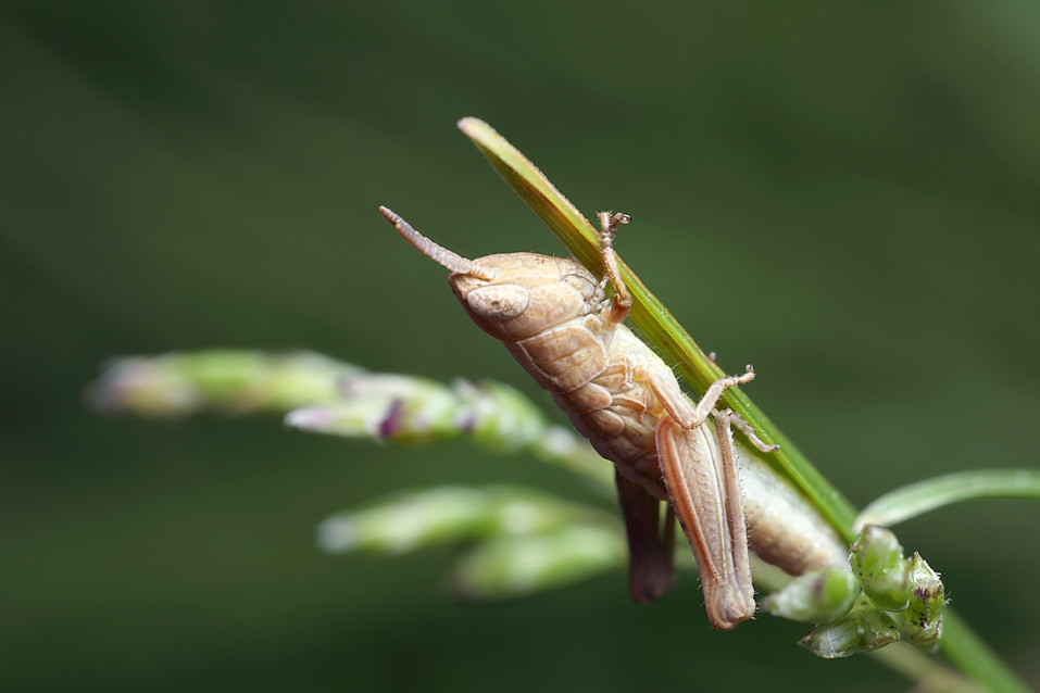 Grasshopper  Bug Facts Insect Field Guide