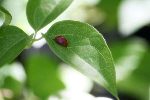 165-ladybug