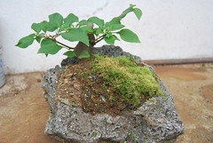 Bougainvillea Bonsai (Xtolord) Tags: bougainvillea bonsai xtolord