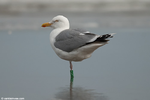 European Herring Gull, adult (G[Y.ASJ]