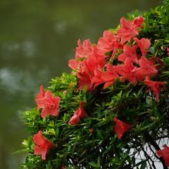 Shukkeien in the rainy season (kamoda) Tags: japan garden season hiroshima rainy 2010    tsuyu shukkeien gf1