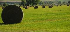 June Harvest (Let Ideas Compete) Tags: county field grass landscape colorado farm country farming boulder round essence prairie hay bales bale