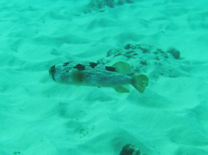 Oahu Pufferfish