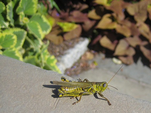 sir grasshopper