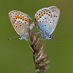 Azurs de l'ajonc (Plebejus argus) Silver-studded Blue (Sinkha63) Tags: two france macro nature beautiful animal animals closeup butterfly insect squ